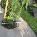 Dach-Platane in 60cm großen Betonring auf Terrasse pflanzen – geht das?