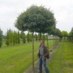 Hausbaum gesucht – etwas größer als ein Kugelahorn (Acer platanoides globosum)