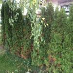 Thuja / Lebensbäume werden braun – was könnten die Ursachen sein?