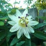 Winterharte Passionsblume und immergrüne Kübelpflanzen gesucht!
