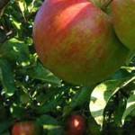 So saftige Elstar-Äpfel kann mann ernten, wenn ein paar Tricks beim Einpflanzen von Obstgehölzen berücksichtigt