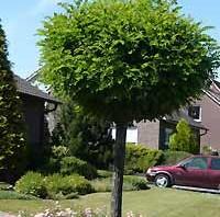 Laubgehölze - wie hier die Robinie - kann man in der Regel von Oktober bis März pflanzen