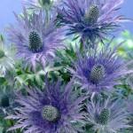 11358_0_Eryngium-alpinum-blue-star
