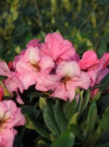 Rhododendron yakushimanum 'Herbstzauber' / Rhododendron 'Herbstzauber'