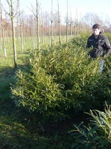 Prunus laurocerasus 'Zabeliana' / Kirschlorbeer 'Zabeliana'