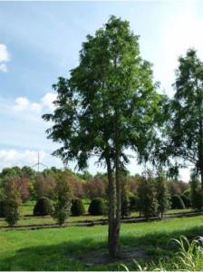 Metasequoia glyptostroboides / Urweltmammutbaum / Wasserlärche / Wassertanne mehrstämmig