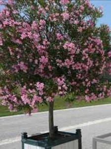 Nerium oleander / Oleander / Rosenlorbeer