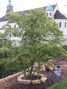 Fächer-Ahorn / Acer-Palmatum