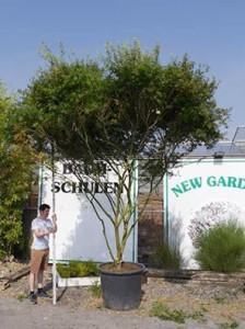 Fächerahorn Acer palmatum 'Seiryu' Schirmform