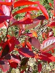 Aronia melanocarpa / Schwarzfrüchtige Apfelbeere