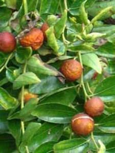 Unsere Pflanze der Woche: Ziziphus zizyphus / Ziziphus jujuba / Chinesische Dattel