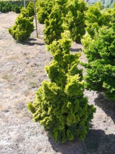 Chamaecyparis obtusa 'Nana Gracilis aurea' / Gelbe Zwerg-Muschelzypresse