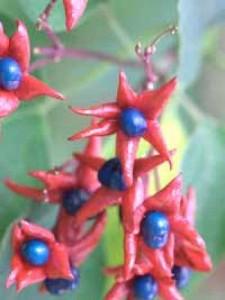 Clerodendrum trichotomum fargesii / Chinesischer Losbaum fargesii