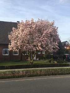 Blühende Magnolia soulangiana / Tulpen-Magnolie