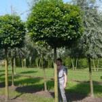 Quercus palustris 'Green Dwarf' / Kugelsumpfeiche 'Green Dwarf' - ein toller Kugelbaum für einen Vorgarten