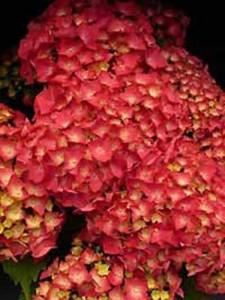 Hydrangea macrophylla 'Leuchtfeuer ®' / Bauern-Hortensie 'Leuchtfeuer'