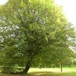 Baum der Wuchsklasse 2 für schattigen / halbschattigen Standort gesucht