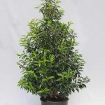 Prunus lusitanica 'Angustifolia' / portugiesischer Kirschlorbeer