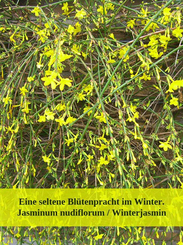 Jasminum nudiflorum / Winterjasmi