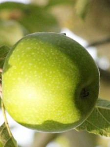 Malus domestica 'Granny Smith' / Winterapfel 'Granny Smith'
