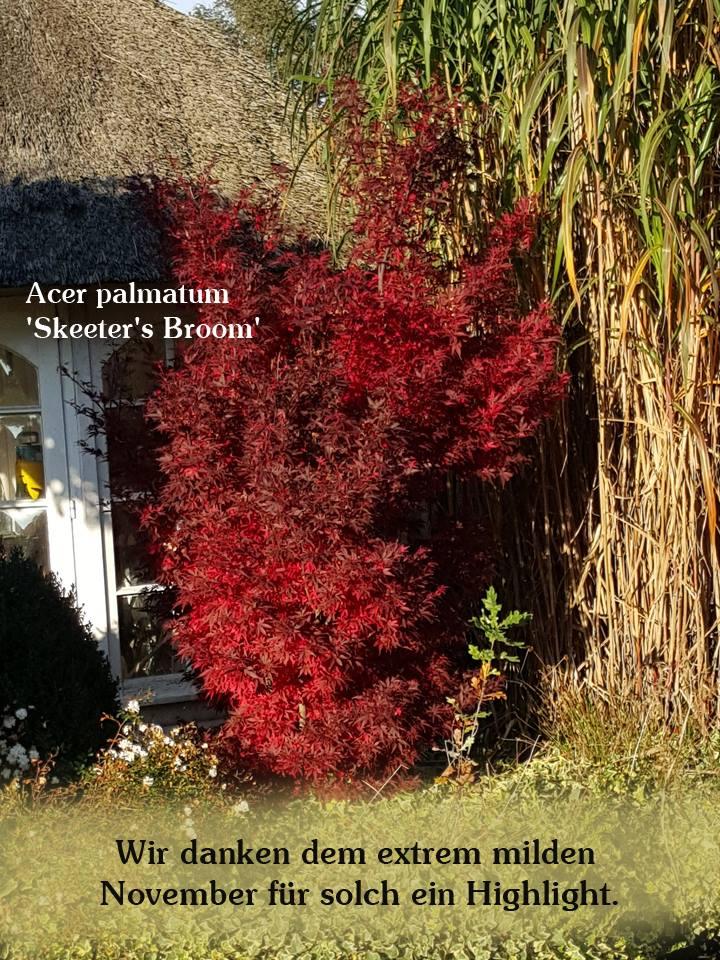Toll blühender Acer palmatum 'Skeeter's Broom' / Fächer-Ahorn 'Skeeter's Broom'
