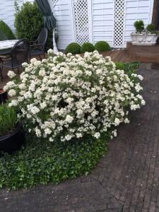 Choisya ternata 'Aztec Pearl' in der vollen Blüte