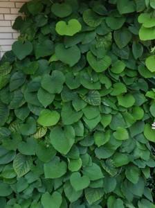 Die Gespensterpflanze / Aristolochia durior / Aristolochia macrophylla / Amerikanische Pfeifenwinde - perfekt für Halloween