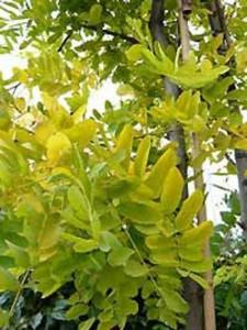 Goldblatt Robinie Robinia pseudoacacia 'Frisia'