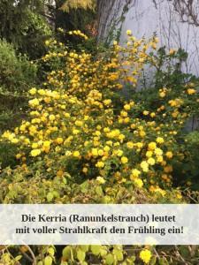 Blühende Kerria japonica Ranunkelstrauch