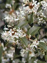 Osmanthus burkwoodii / Frühlings-Duftblüte