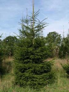 Die Gemeine Fichte / Picea Abies - Baum des Jahres 2017