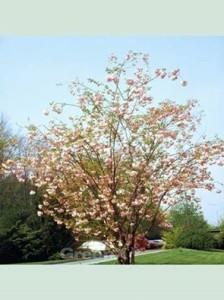 Prunus serrulata 'Pink Perfektion' Japanische Zierkirsche 'Pink Perfektion'