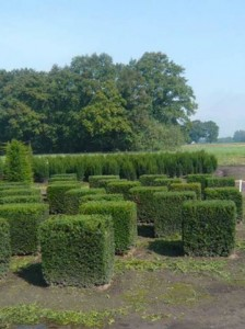Taxus Baccata Kubus / Quader