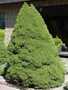 Zuckerhut-Fichte / Picea glauca 'Conica'