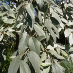 Ist die Elaeagnus angustifolia 'Quicksilver' immergün und wann ist der beste Pflanzzeitpunkt?