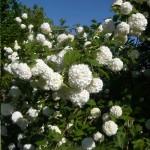 Viburnum opulus 'Roseum' / Gefüllter Schneeball 'Roseum' - eignet sich zur Bepflanzung einer Böschung und begeistert mit toller Blüte