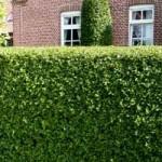 Ligustrum vulgare 'Atrovirens' für schmale Hecken geeignet?