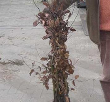 Carpinus betulus / Hainbuche 60-80 cm wurzelnackt