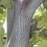 Acer davidii / Davids Schlangenhaut-Ahorn - außergewöhnlich vor allen Dingen wegen der Rinde