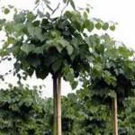 Tilia cordata 'Green Globe' / Kugel-Winter-Linde - Krone wird bis zu 300cm groß
