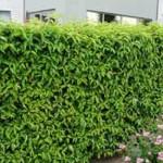 Prunus lusitanica 'Angustifolia' / portugiesischer Kirschlorbeer - mit etwas Pflege wird er sattgrün und sieht toll aus