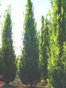 Quercus robur 'Fastigiata' / Säulen-Eiche / Pyramiden-Eiche - sehr tolerantes Großgehölz und wächst auch gut auf sandigen Böden