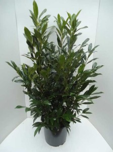 Prunus laurocerasus 'Herbergii' / Kirschlorbeer 'Herbergii'