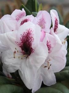 Rhododendron 'Herbstfreude' – eine herbstblühende Rhododendron-Sorte