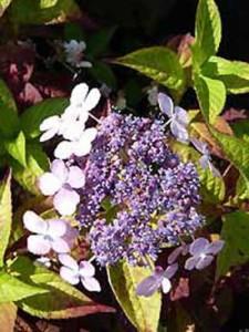 Hydrangea involucrata / Japanische Zwerg-Hortensie
