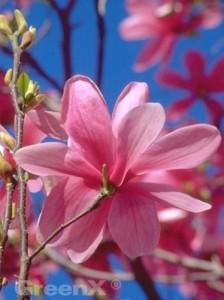 Schnellwüchsige Magnolie gesucht, die nicht weiß blüht