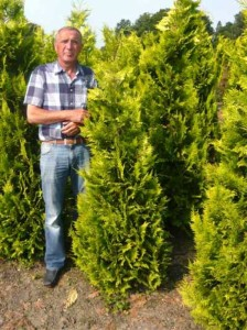 Thuja occidentalis 'Yellow Ribbon' / Lebensbaum 'Yellow Ribbon'