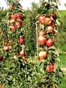 Wem gehört eigentlich das Obst, wenn die Äste vom Obstbaum auf das Nachbargrundstück überhängen?