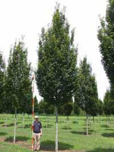 Groß wachsende Heckenpflanzen und Laubgehölze für Sichtschutz gesucht