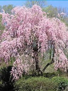 Fragen zu Hänge-Zierkirschen Subhirtella Pendula und Snow Fountains zur Blüte